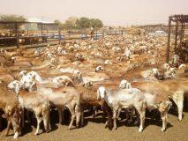 إستئناف صادر الثروة الحيوانية من محجر الخوي بغرب كردفان