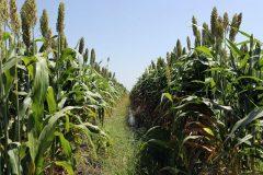 اللجنة العليا للموسم الزراعي تتفقد محطة البحوث الزراعية بالقضارف