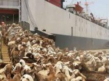 ميناء سواكن يشهد اليوم إستئناف عمليات صادر الماشية السودانية للسعودية