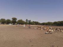 إنطلاقة نفرة جباية الأنعام بمحلية الطويشة بشمال دارفور