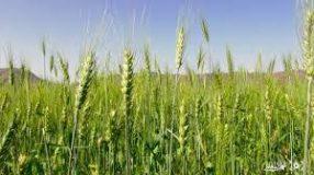 زراعة 90%بمحصول القمح بالولاية الشمالية