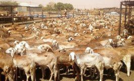 السعودية ترفع الحظر عن صادر الماشية بشكل دائم